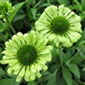 Green Jewel Coneflower Flower Seed Pack with Planting Instructions Echinacea Seeds