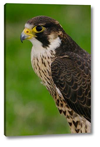 Peregrine Falcon Portrait, Ecuador by Pete Oxford - 13