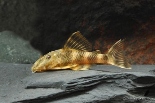 Live Fish - 3 Clown Plecos Catfish Live Freshwater Aquarium Fish