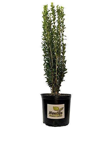 Sky Pencil Japanese Holly Tree - Live Plant - Full Gallon Pot