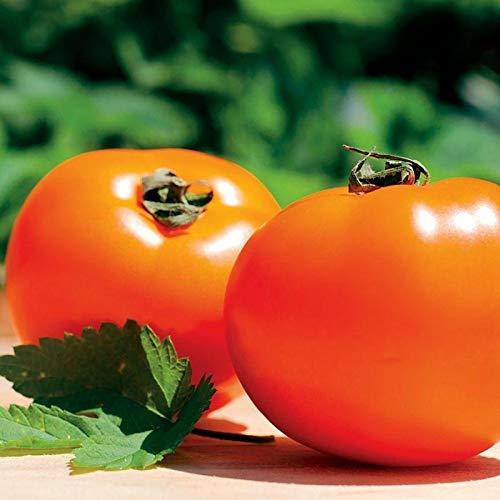Orange Tomatoes - Chef's Choice Orange F1 Tomato Seeds (20 Seed Pack)