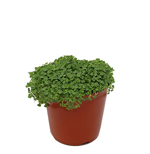 Mint 'Corsican' Herb Plant (Pack of 12) by Dutch Country Classics (Image #2)