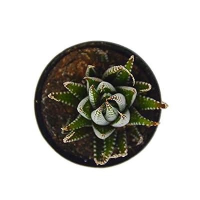 "Cheap Fresh Succulent 'Zebra' / 2.5"" Pot/Live Home and Garden Plants Easy to Grow Get 1 Pack #HPS01YN : Garden & Outdoor"