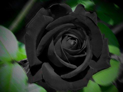 10 Black Rose Seeds