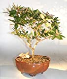 Bonsai Boy's Flowering Japanese Honeysuckle Bonsai Tree - Large lonicera japonica 'halliana purpurea'