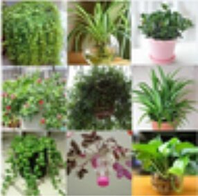 Indoor air purification, flowers, potted plants absorb formaldehyde seeds, seed pearls hydroponic Chlorophytum, 50pcs