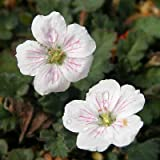 1 Erodium Reichardii, White, Herons Bill Live Plants