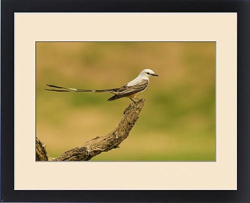 Framed Print of USA, Texas, Hidalgo County. Scissor-tailed flycatcher on limb by Fine Art Storehouse