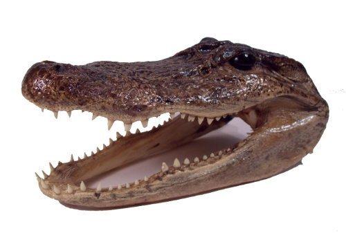 Real Taxidermy 8 Inch Alligator Head Swamp People by Gator