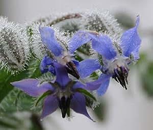 BORAGE Borago Officinalis - 20 Herb Seeds