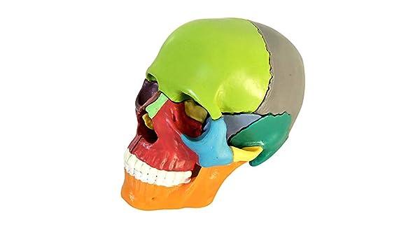 VIEUR Cráneo Humano: Modelo anatómico Educativo de 15 Piezas ...