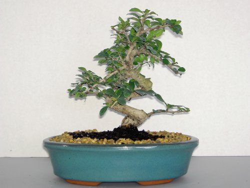LOU'S BONSAI NURSERY WHITE FLOWERING IMPORTED FUKIEN TEA BONSAI TREE by LOU'S BONSAI  NURSERY