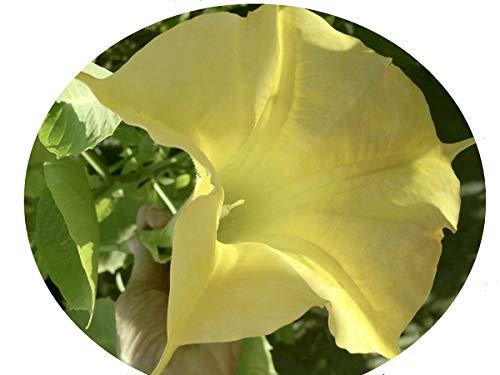 Angel Brugmansia Trumpet - DAYBREAK Brugmansia Angels Trumpet Live Tropical Plant Large Fragrant Yellow Flowers Starter Size 4 Inch Pot Emerald TM