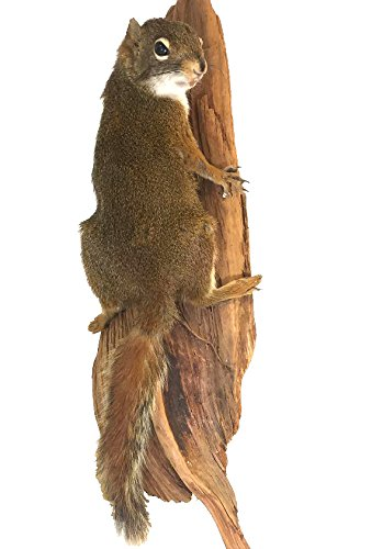 (Pine Squirrel on Tree Professional Taxidermy Mounted Animal Statue Home or Office)