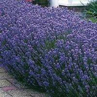 4 Phenomenal Lavender Plants in 4 Inch Pots by Daylily Nursery