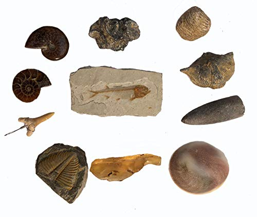 Sunny Hill Fossil Collection Kit Contains Fish Fossil Shark Teeth Trilobite Tails, etc. 11 Genuine Fossils