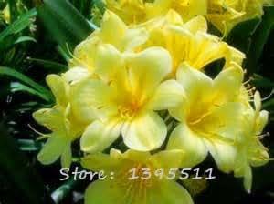 1bag = 100 PC semillas baratas, Clivia Clivia de semillas en macetas, flores Bonsai balcón Hogar y jardín