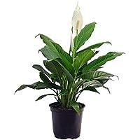 Delray Plants (Spathiphyllum) in 6
