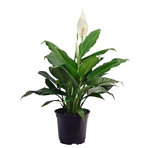 "Delray Plants Peace Lily (Spathiphyllum) in 6"" Diameter Pot"