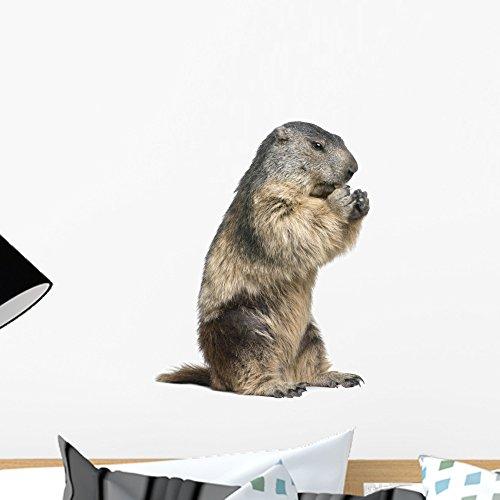Marmota the best Amazon price in SaveMoney.es
