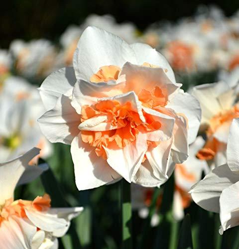 7 Double Orange White Daffodil Bulbs Garden Hardy Perennial Narcissus Flower