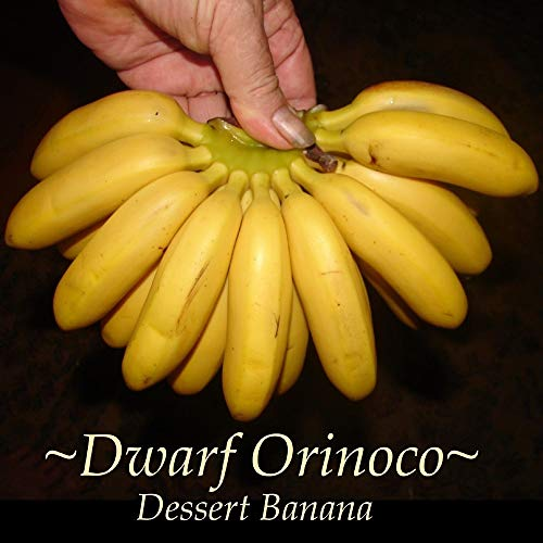 - Dwarf Orinoco Musa Dessert Banana Fruit Tree Small Potted Plant A5