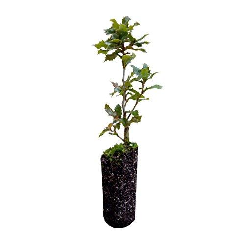 Canyon Live Oak   Live Tree Seedling (Medium)   The Jonsteen Company ()