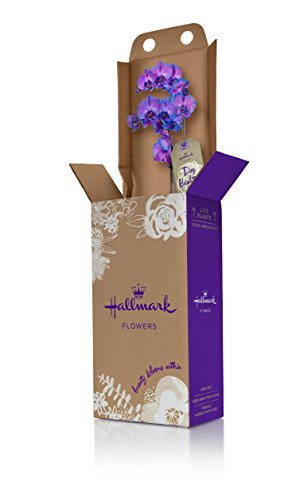 Hallmark Flowers Orchid Flower Plant, Purple Double Spike in 5-Inch White Ceramic Container by Hallmark Flowers (Image #1)