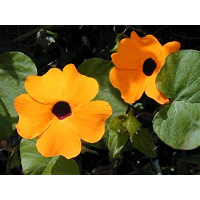 Thunbergia Seeds Black Eyed Susan Vine Thunbergia Alata 50 Seeds : Garden & Outdoor