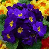 Outsidepride Common Primrose Blue - 100 Seeds