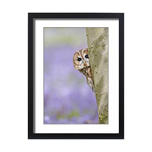 Framed 24x18 Print of Tawny Owl - looking around tree in bluebell wood (1826035)