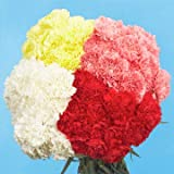 GlobalRose 300 Color Carnations - Fresh Flowers Wholesale Express Delivery