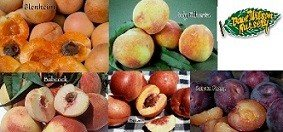 4-N-1 Fruit Salad Tree - With 4 of These Varieties (July Elberta Peach, Fantasia Nectarine, Santa Rosa Plum, Babcock White Peach, Blenheim Apricot)