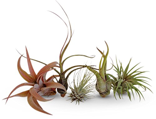 CTSairplants 5 Pack Assorted Tillandsia Air Plants