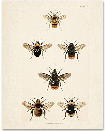 (Bees - 11x14 Unframed Art Print - Makes a Great Gift Under $15 for Nature)