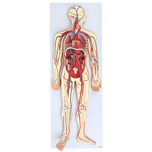 [해외]축 과학 인간 순환 계 모델   하프 라이프 사이즈   이동식 심장 및 부분 골격 포함   세부 정 맥 동맥 및 흉부 기관   제품 매뉴얼 포함   3 년 보증 / Axis Scientific Human Circulatory System Model   Half Life-Size   Includes Removable Hea...