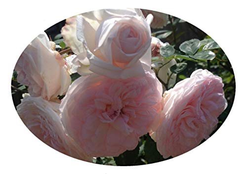 CLOTILDE SOUPERT Antique Own Root Heirloom Old Garden Rose Bush Live Plant Cream White Pink Highly Fragrant 4 Inch Pot Emeralds Tm