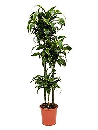 Zimmerpflanze Wenig Licht drachenbaum dorado große zimmerpflanze wenig licht dracaena fragrans
