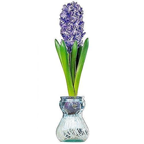 Forcing Vase Amazon