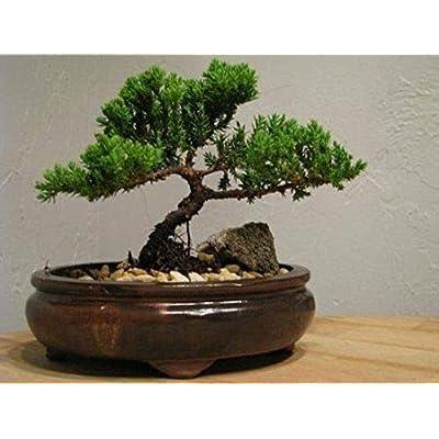 AchmadAnam - Live Plant Bonsai Tree Juniper Zen Flowering House Plant Indoor Garden Best Gift Xmas: Garden & Outdoor
