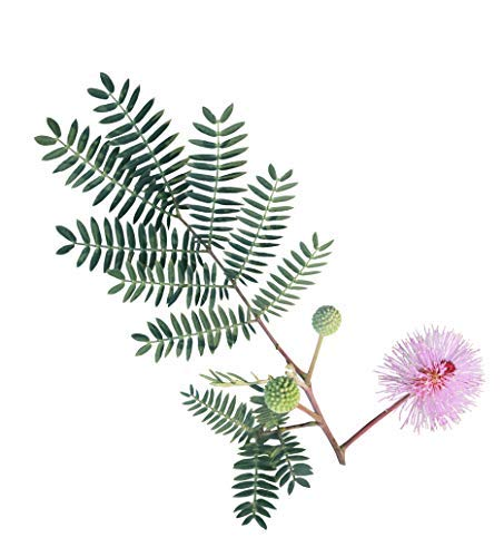 (100 Sensitive Plant Seeds - Mimosa Pudica, Moving Plant, Shy Plant, Shameful Plant, Touch-me-not - By RDR Seeds)
