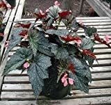Sophia' Angel Wing Begonia