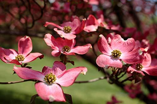 (20 Seeds of Asclepias Incarnata, Swamp Milkweed, Rose Milkweed, Pink Flower Butterfly Weed, White Indian Hemp, Rose Milkflower)