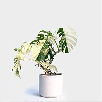 ASTONISH Seeds Package: 100Pcs White Monstera Seeds Palm Turtle Pot Seeds  Bonsai Tree Decor Home Garden