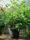 Mittelmeer Schneeball 80-100cm - Viburnum tinus
