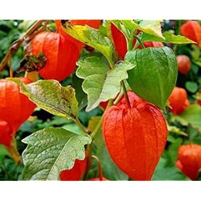Cheap Fresh Perennial Seeds Physalis Alkekengi Chinese Lantern Get 10 Seeds Easy Grow #GRG01YN : Garden & Outdoor