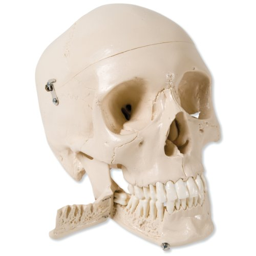3B-Scientific-W10532-4-Part-Skull-Model-with-Teeth-for-Extraction-87-x-53-x-67