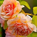AGROBITS Type9: New Nice Adorable Flower Fragrant Seeds Fragrant Blooms Peony Seeds Er99 01