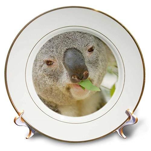 3dRose cp_88544_1 Queensland Koala Bear, Eucalyptus, San Diego Zoo, CA-US05 MPR0030-Maresa Pryor-Porcelain Plate, 8