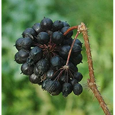 1 oz Seeds (Approx 644 Seeds) of Eleutherococcus senticosus, Siberian Ginseng : Garden & Outdoor